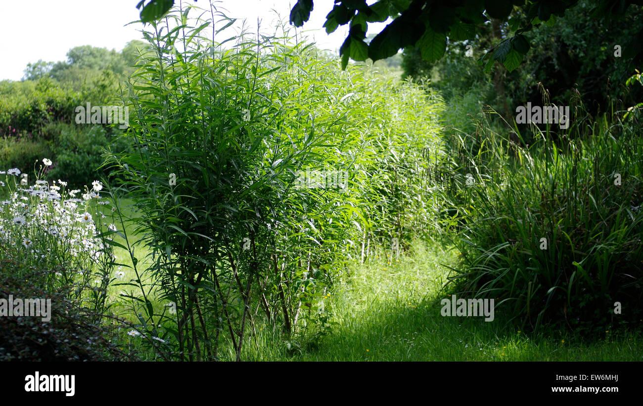 Haie de saule Jardin Clôture naturelle Border UK Garden Banque D ...