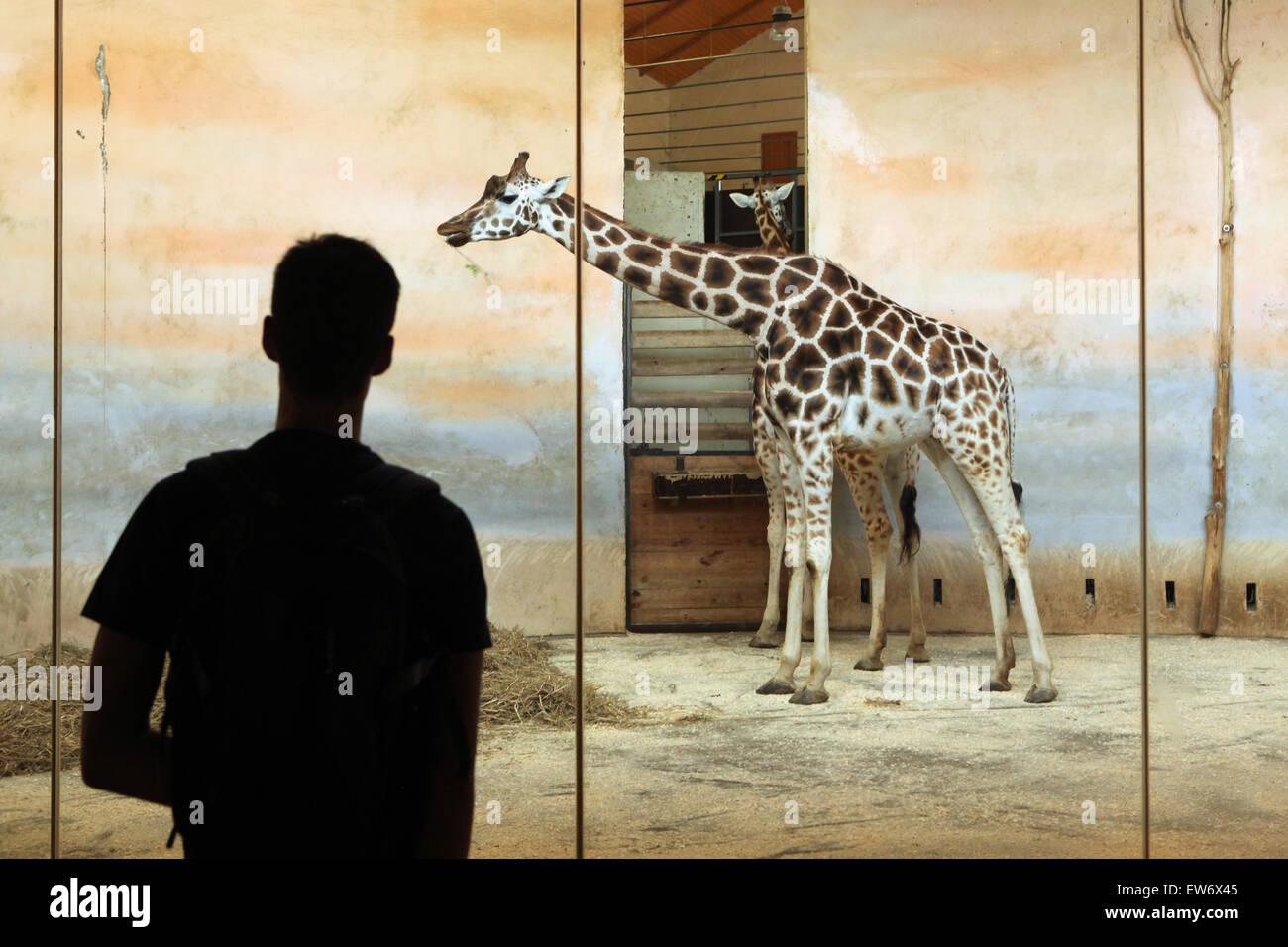 Visiteur regarde les Rothschild Girafe (Giraffa camelopardalis rothschildi) au Zoo de Prague, République tchèque. Photo Stock