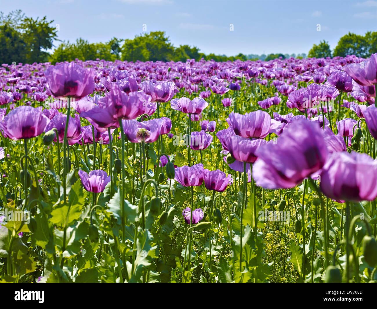 Le pavot à opium en fleurs Banque D'Images