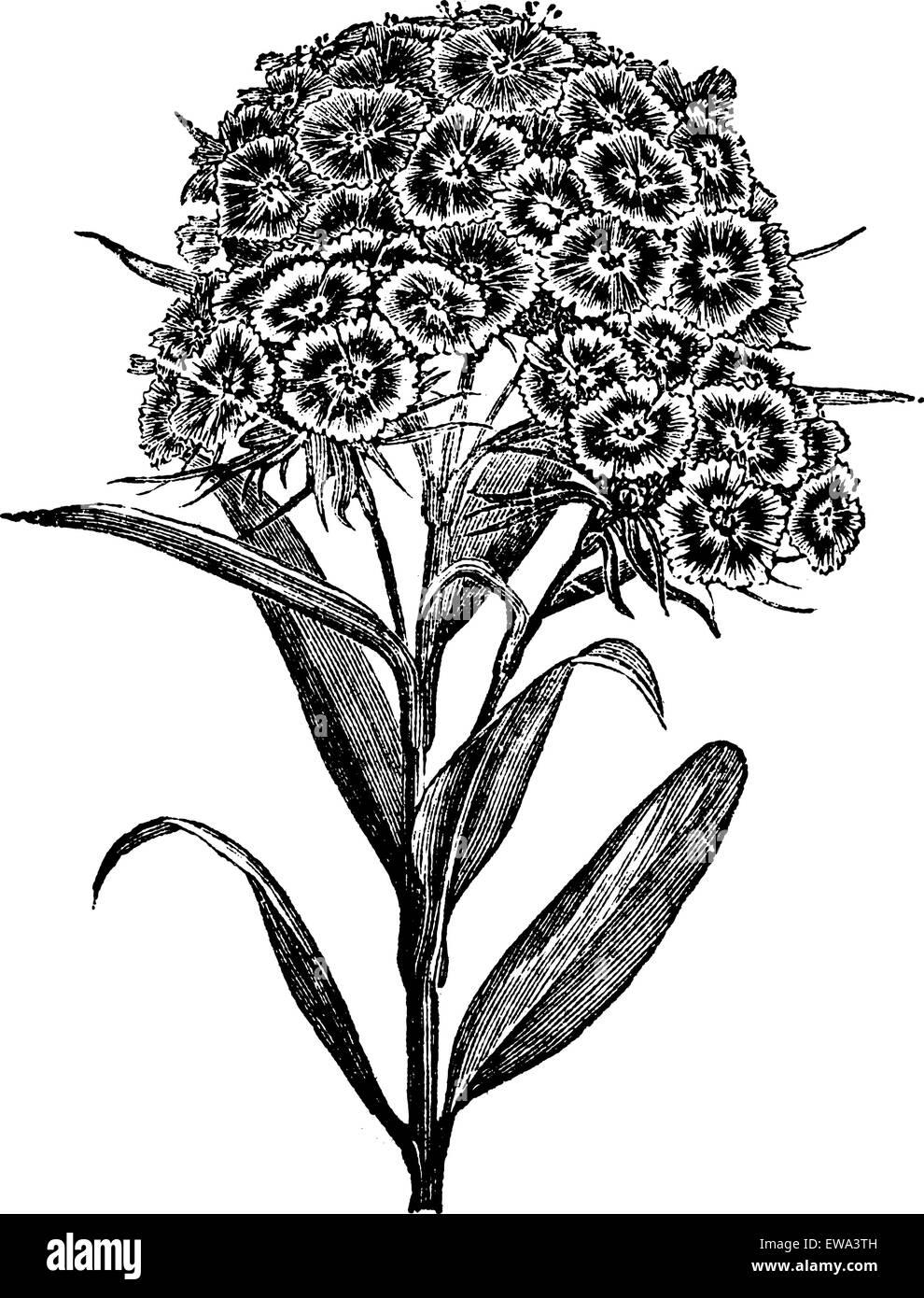 Barbu d'oeillet (Dianthus barbatus) ou Sweet William. vintage engraved illustration. Encyclopédie Trousset Photo Stock