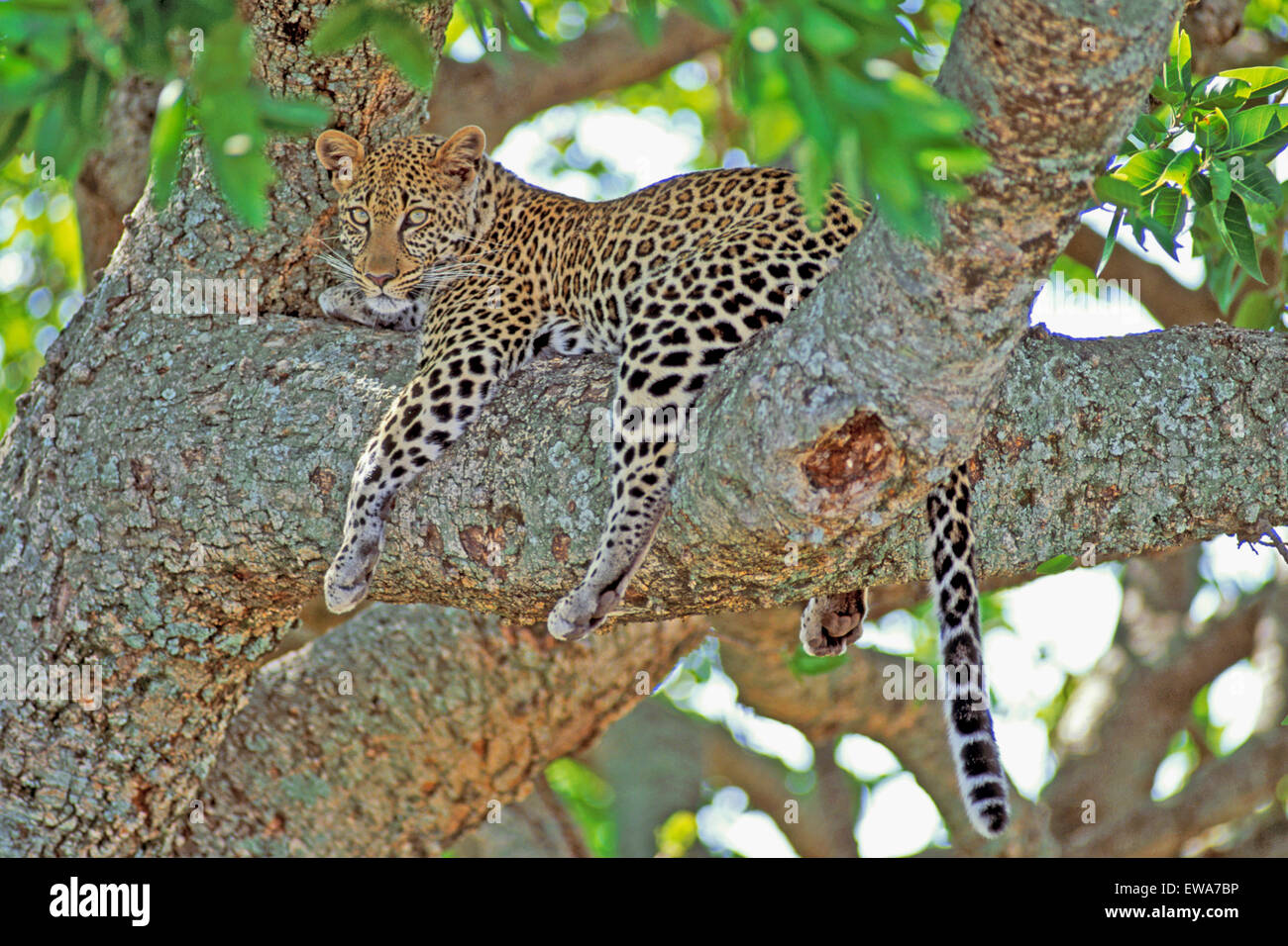 Leopard africaine en repos,arbre,Afrique Masai Mara Photo Stock
