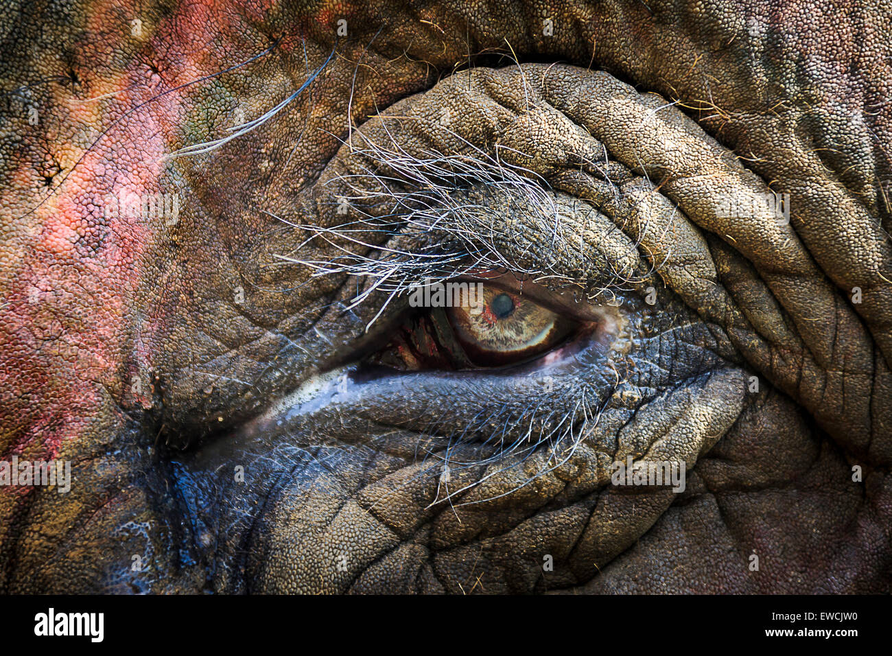 Éléphant d'Asie (Elephas maximus indicus). Close-up de l'œil. L'Inde Photo Stock