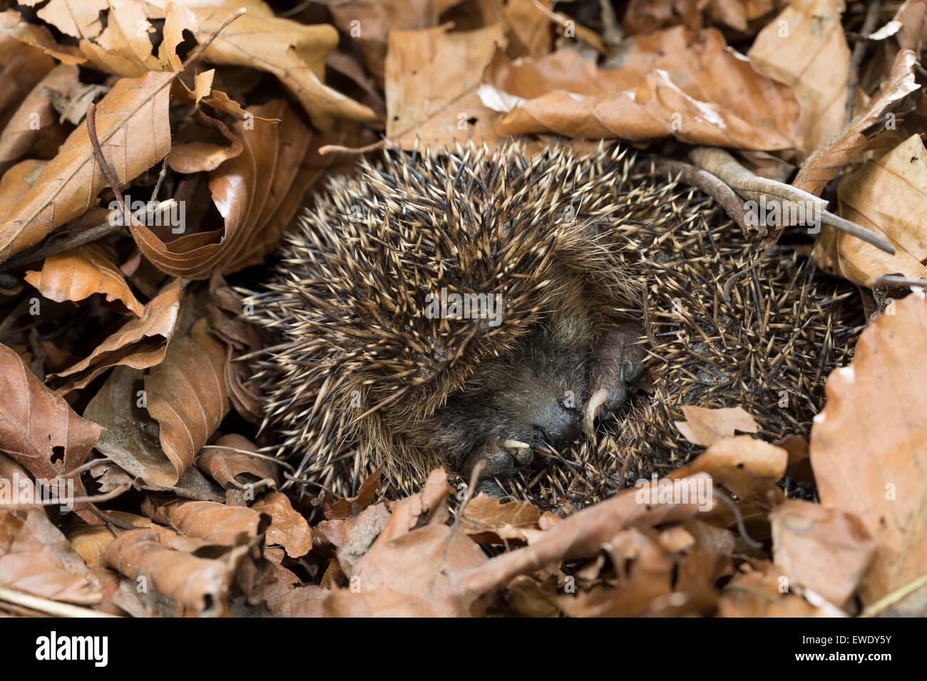 hérisson européen, l'hibernation, la survie en hiver, europäischer