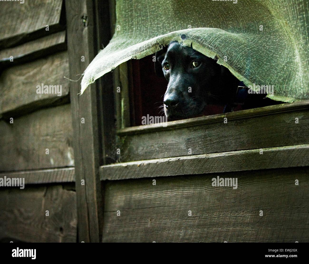 Grand noir Labrador Retriever dog coller la tête par une fenêtre d'un écran cassé vieux Photo Stock