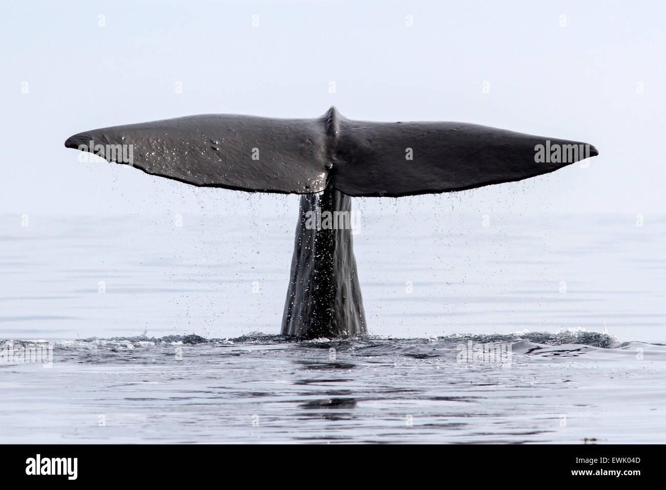 La queue du cachalot qui plonge dans les eaux de l'Océan Pacifique Photo Stock