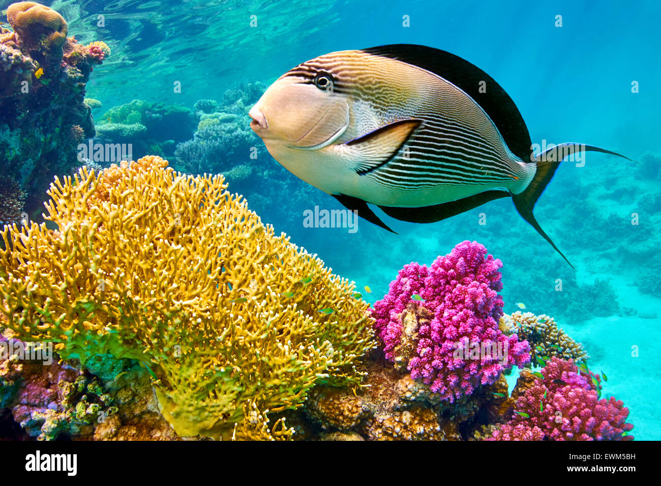 Mer Rouge - vue sous-marine à poissons et coraux, Marsa Alam, Egypte Photo Stock
