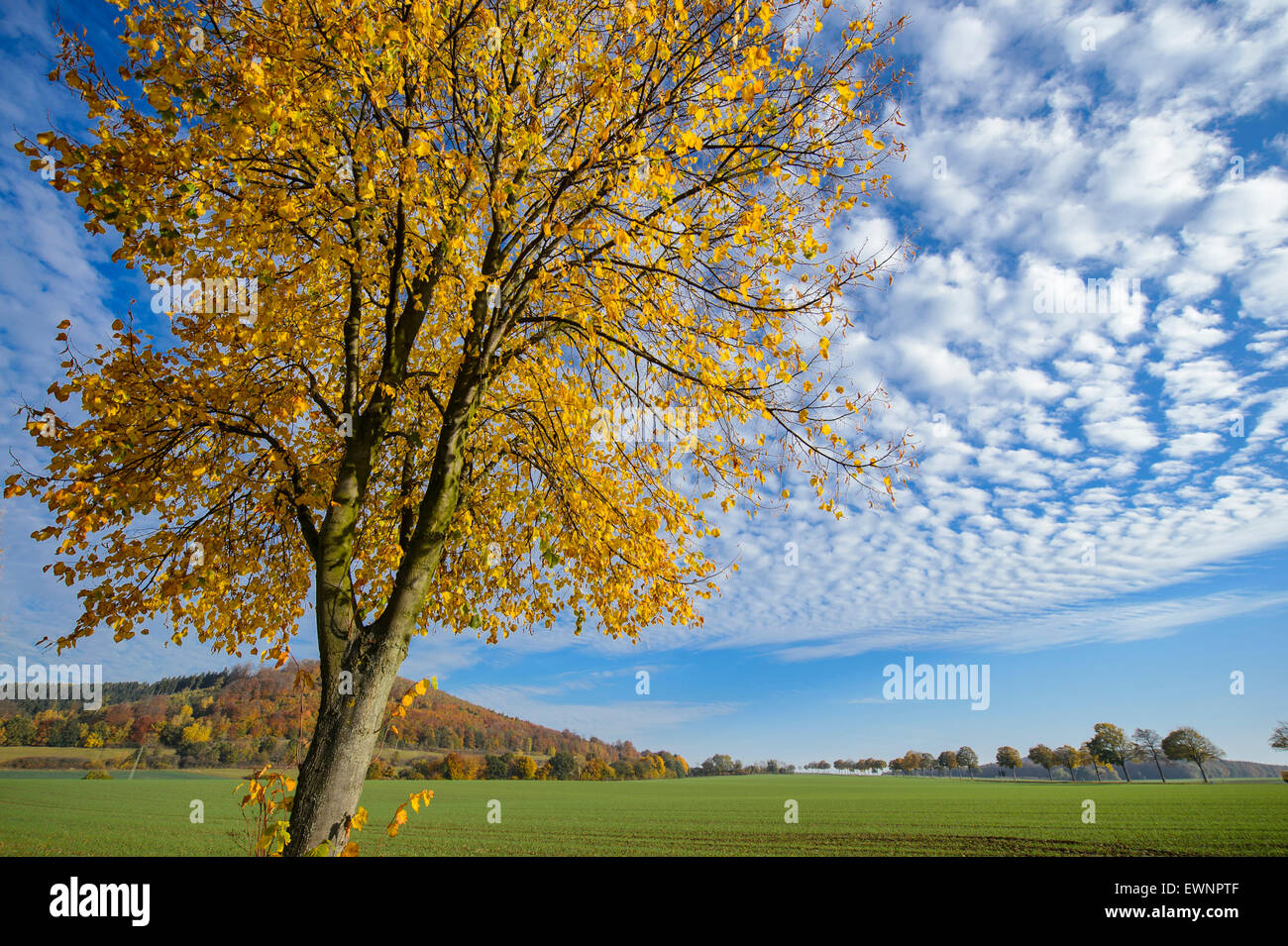 Tilleul à l'automne, weser uplands, bodenwerder, Basse-Saxe, Allemagne Banque D'Images