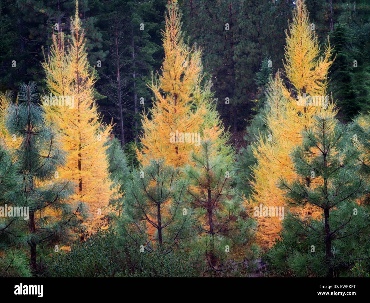 Couleur d'automne le mélèze et le pin ponderosa d'arbres. Washington Photo Stock