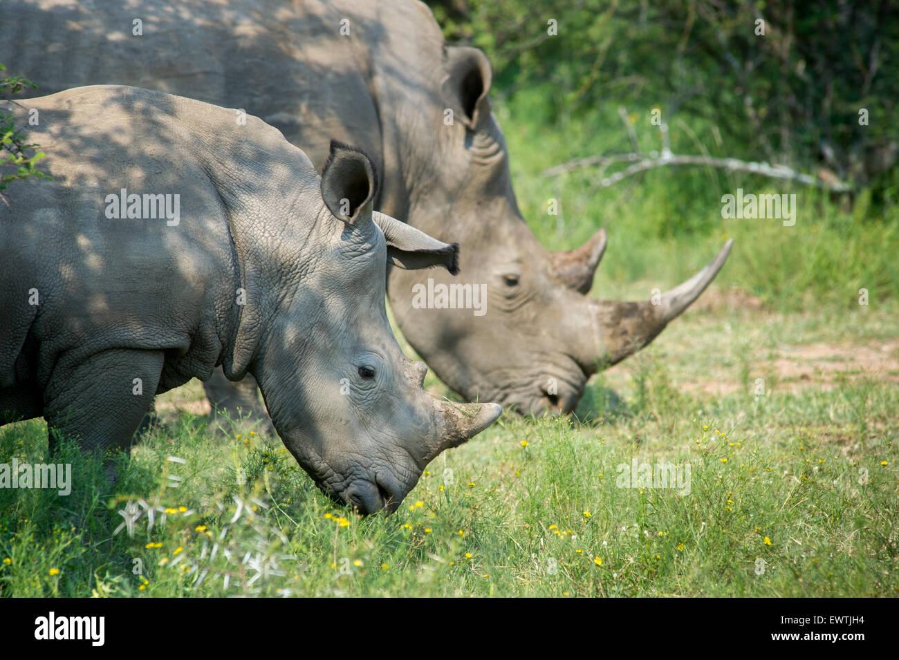 L'AFRIQUE DU SUD- une paire de rhinoceros' (Rhinocerotidae) sur la réserve de chasse Dinokeng Photo Stock