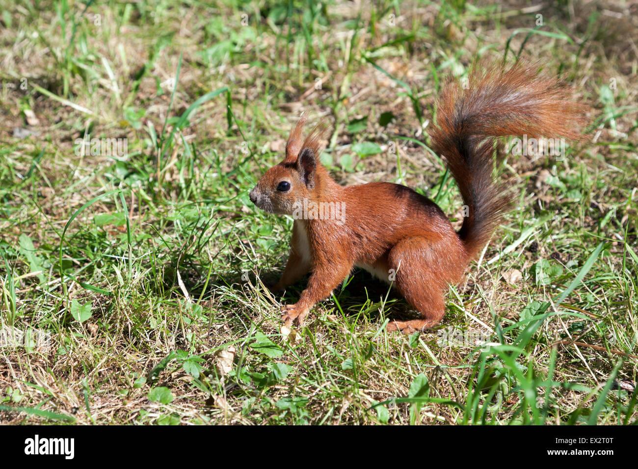 L'écureuil roux dans le Parc Lazienki, Varsovie, Pologne Banque D'Images
