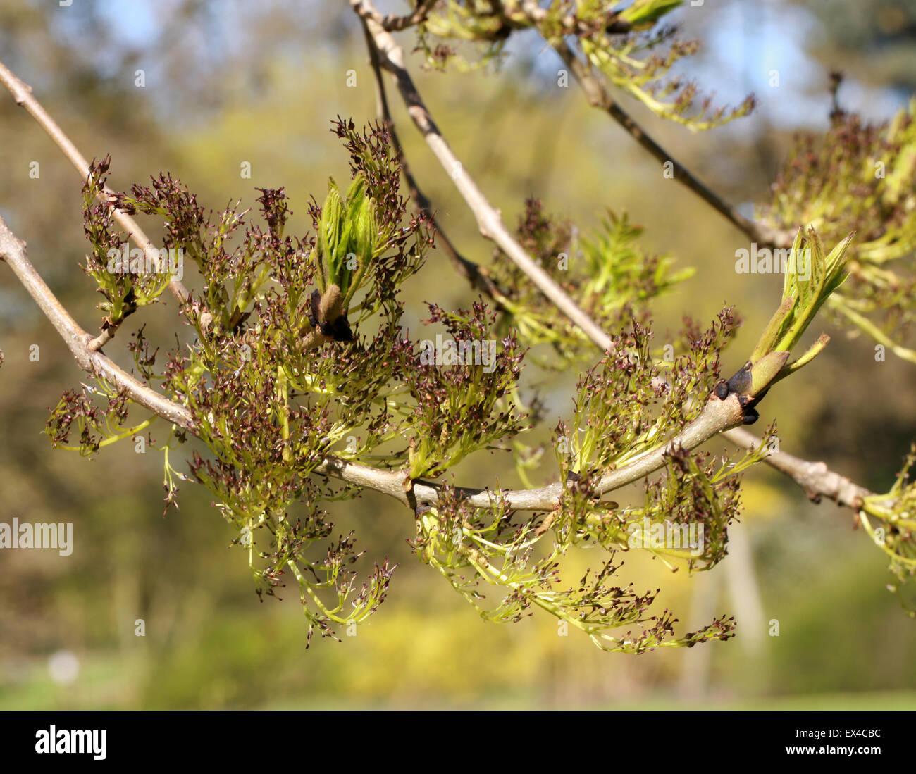 Bourgeons et fleurs des pleurs, Fraxinus Frêne Wentworth La Vecchia Fonte 'Pendula' Wentworthii, Oleaceae. Photo Stock