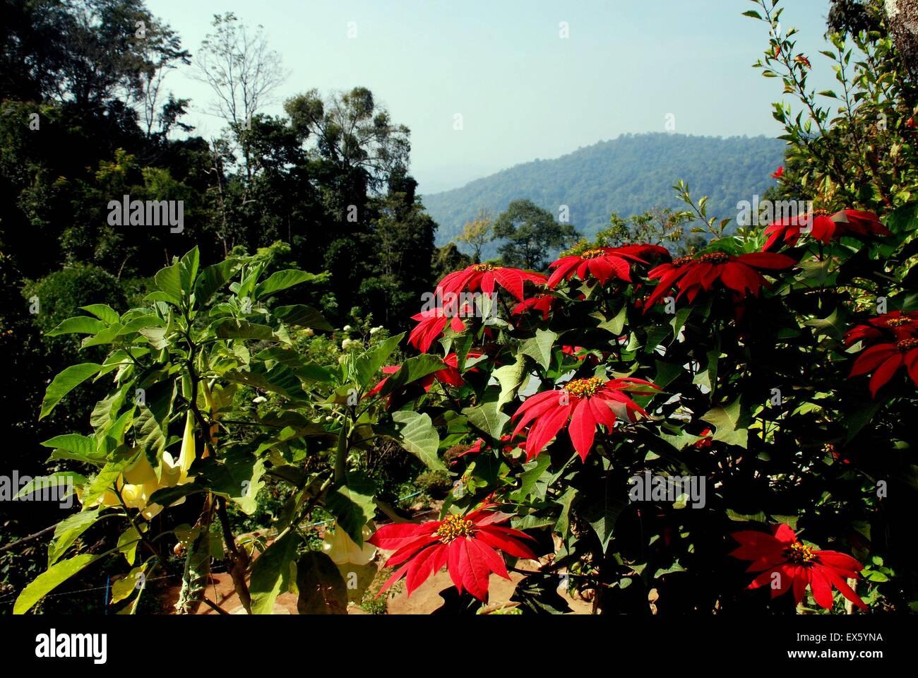 Poi Doi, Thaïlande : : Poinsettias rouge fleurs de jardin à flanc de ...