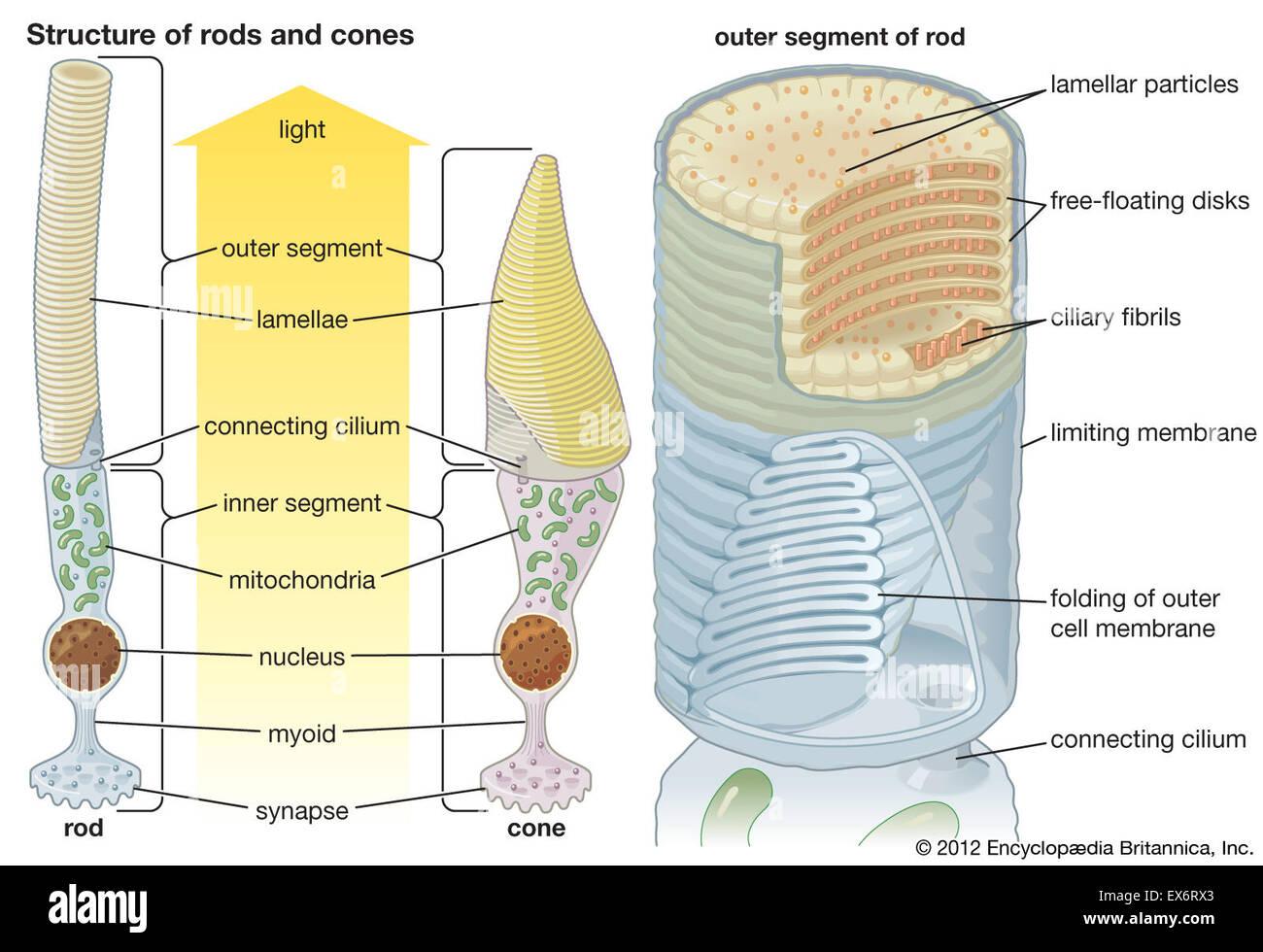 Structures des bâtonnets et cônes Photo Stock