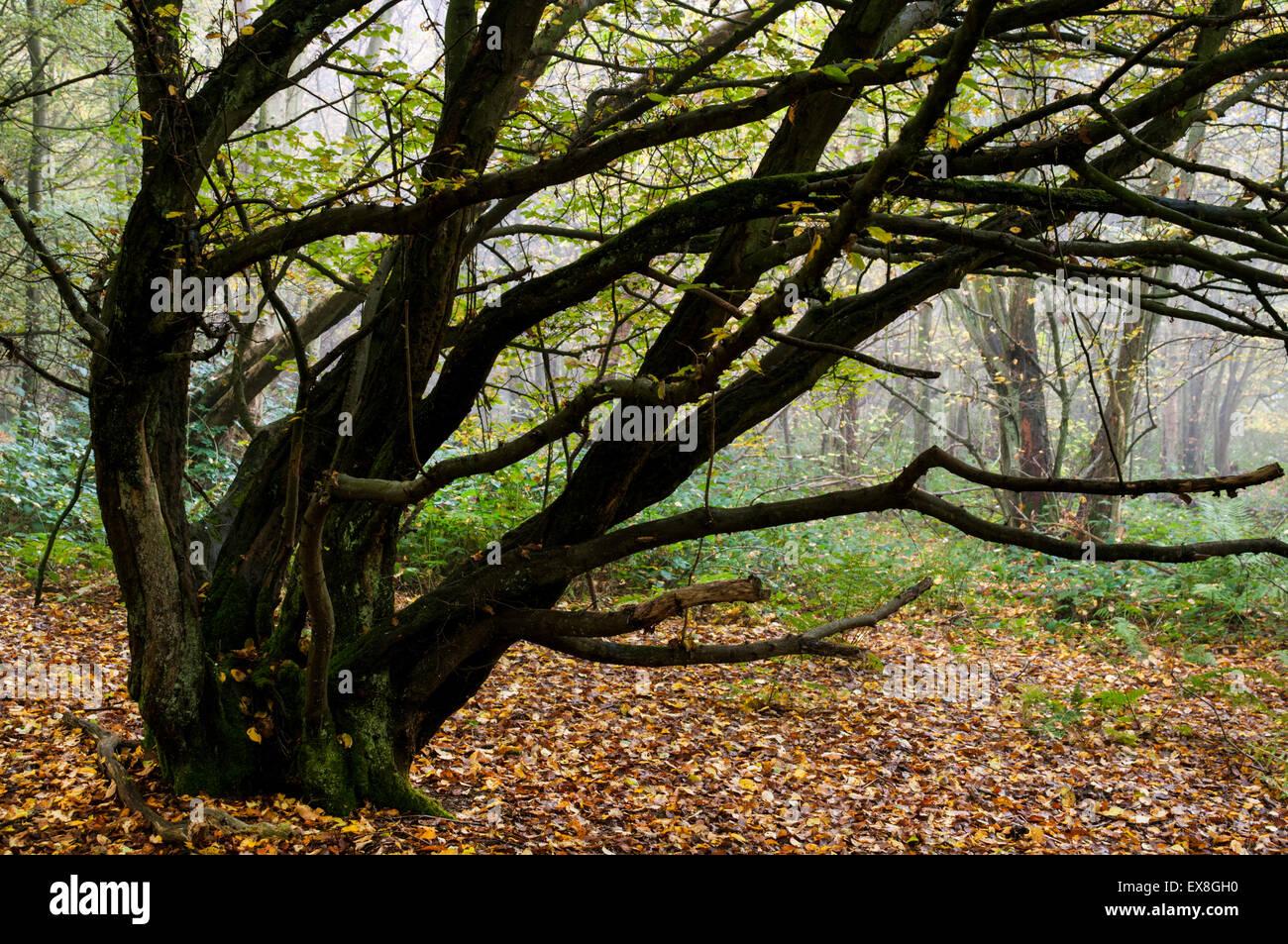 european charme (carpinus betulus) bois de taillis à l'automne, kent