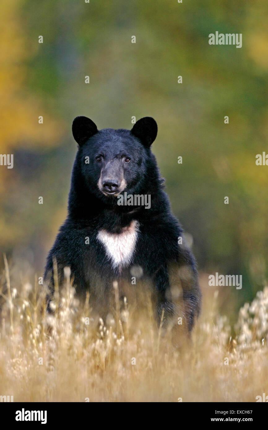 Gros ours noir à la recherche de nourriture dans le pré Photo Stock