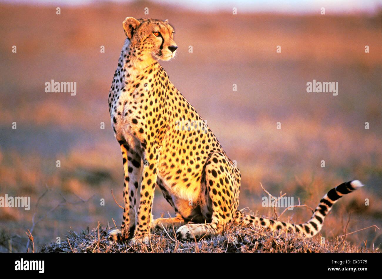Le guépard assis à Savannah en fin d'après-midi du soleil Banque D'Images