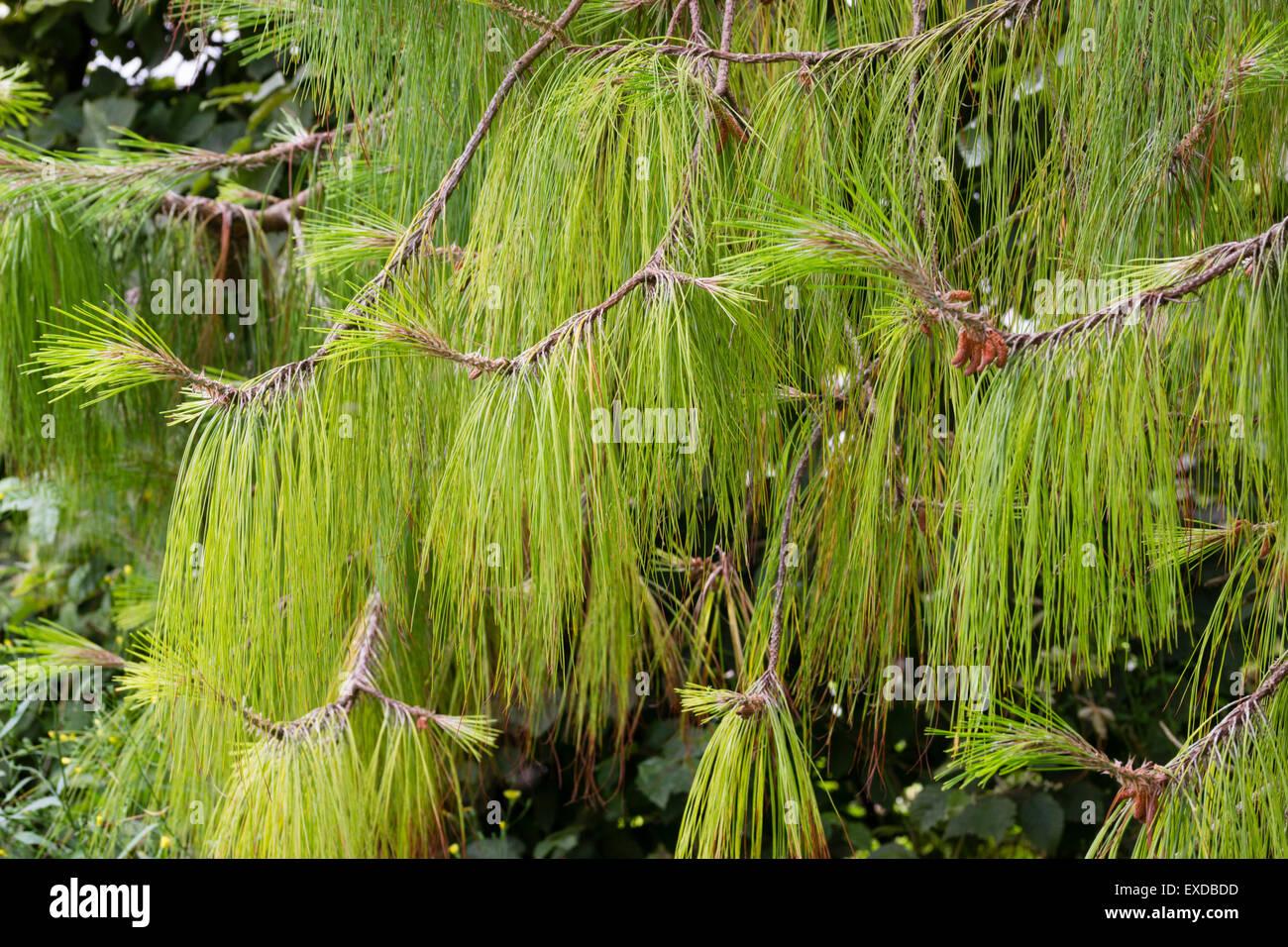 Longtemps, se balançant les aiguilles des pins pleurant Mexicain, Pinus patula Photo Stock