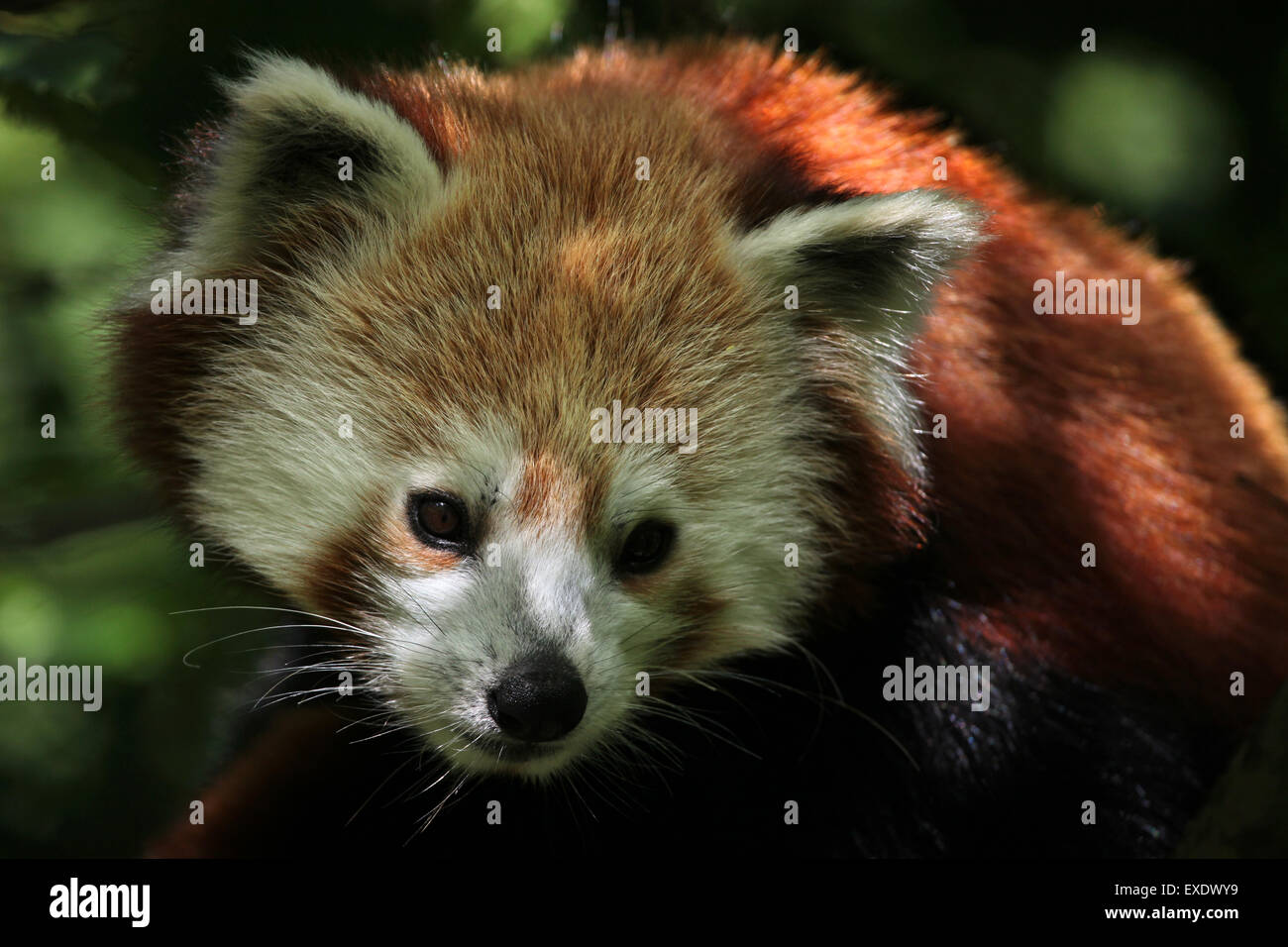 Panda rouge (Ailurus fulgens fulgens) au zoo de Liberec en Bohême du Nord, en République tchèque. Photo Stock