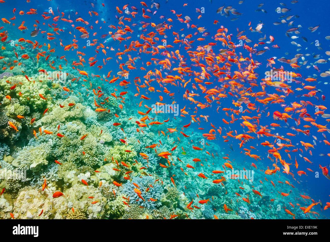 Photo sous-marine, banc de poissons sur la barrière de corail en mer Rouge, Egypte Photo Stock