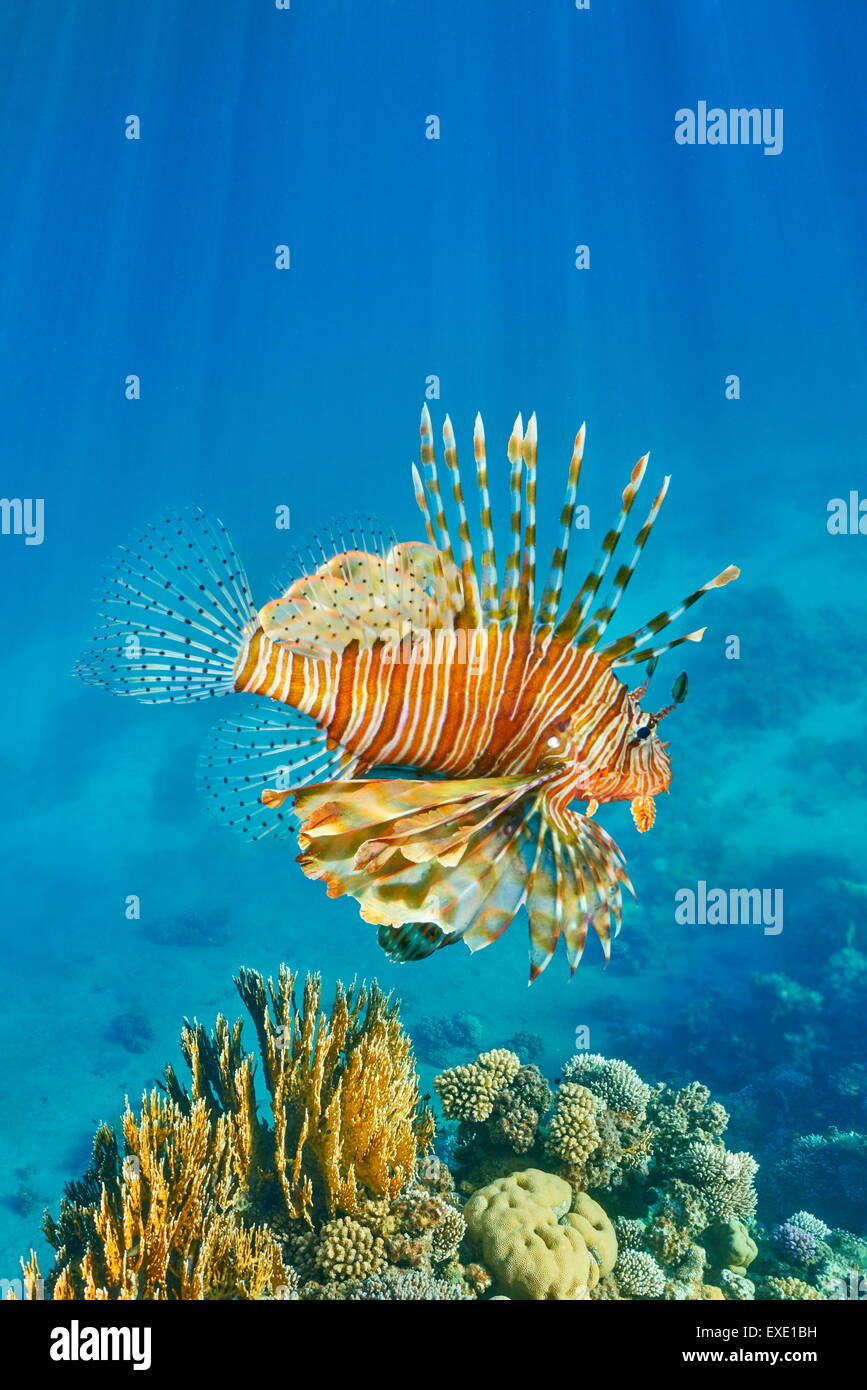 Plus de poisson lion Pterois volitans, Reef, Dahab, Sinai, Red Sea, Egypt Photo Stock