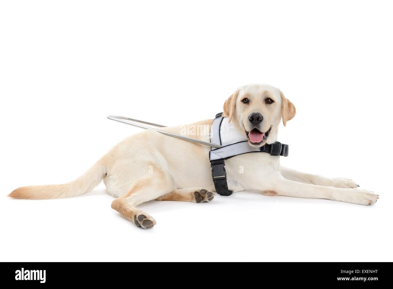 Chien-guide pour les aveugles découper isolé sur fond blanc Photo Stock