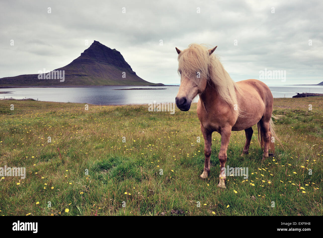 Cheval islandais, Péninsule de Snæfellsnes, l'Islande Banque D'Images