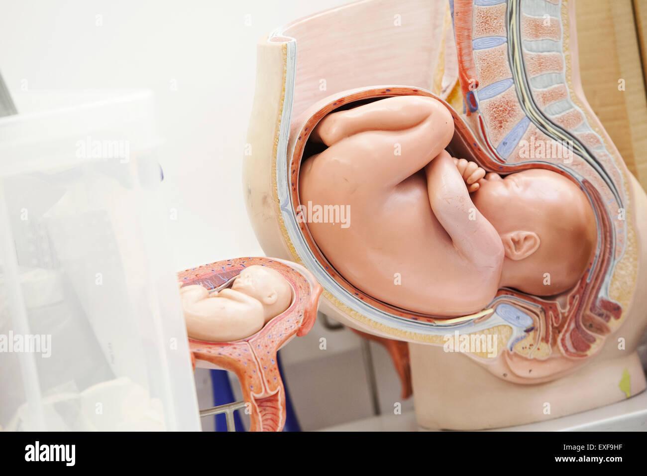 Foetus Humain modèle anatomique du foetus humain banque d'images, photo stock