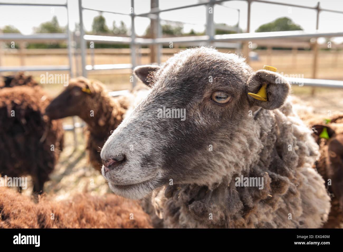 Noir gris et brun foncé moutons Shetland en attente prêt à la plume d'être cisaillé du regard et attentif de ce qui se passe à proximité Banque D'Images