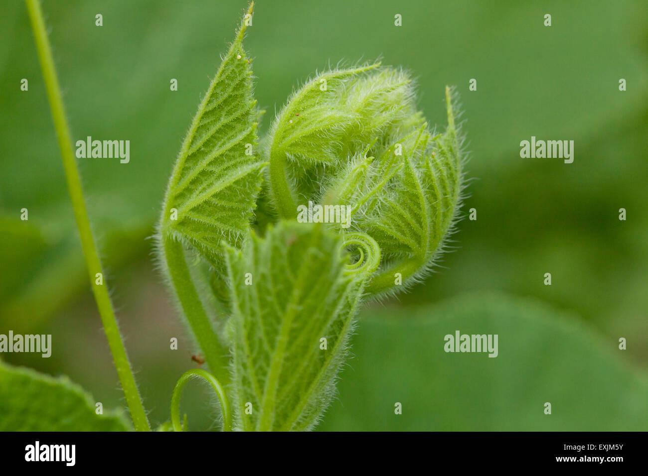 Nouvelle croissance des plantes de squash Photo Stock