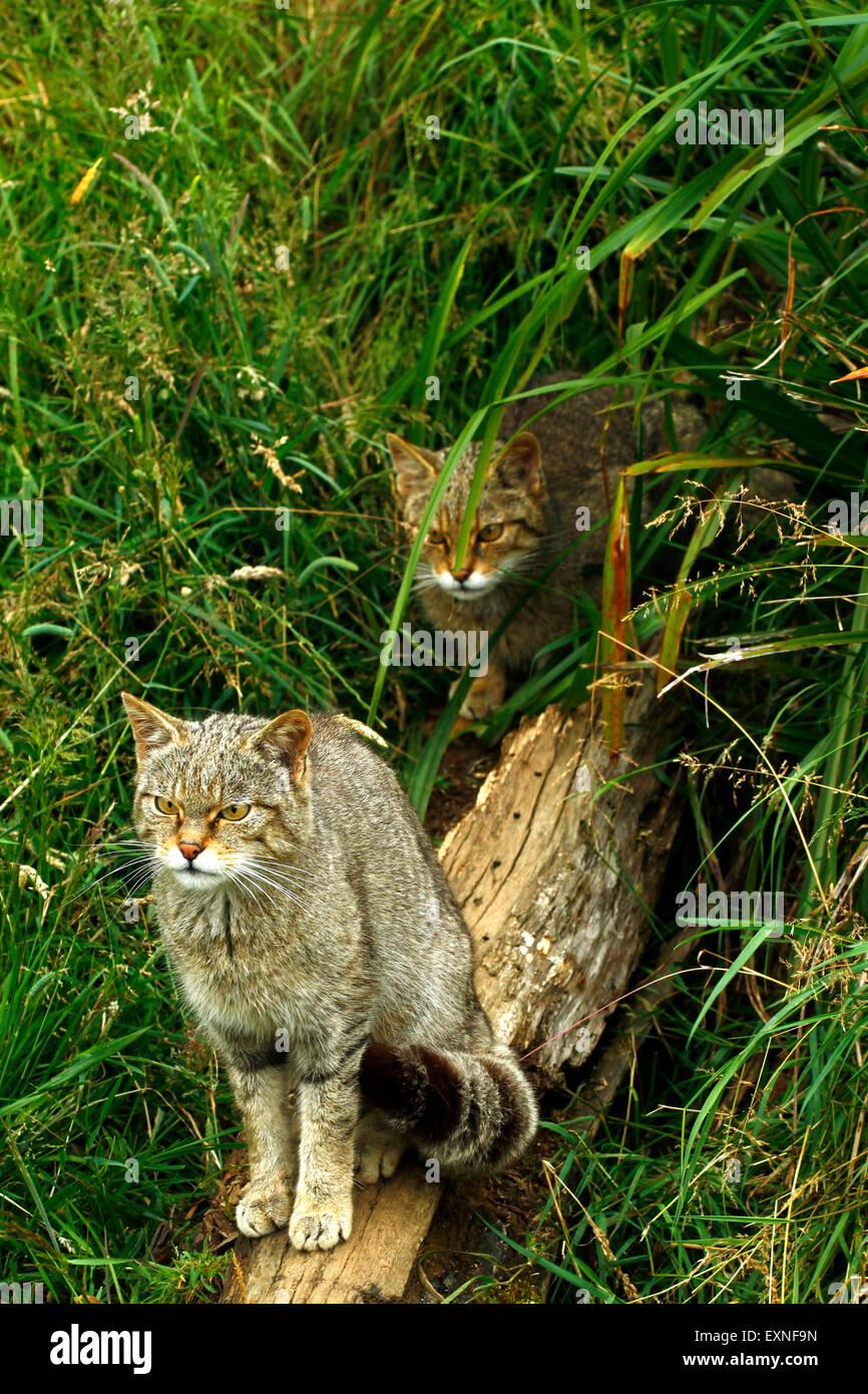 Les chats sauvages écossais, mère et fille dans une épaisse forêt, noter  leurs manteaux