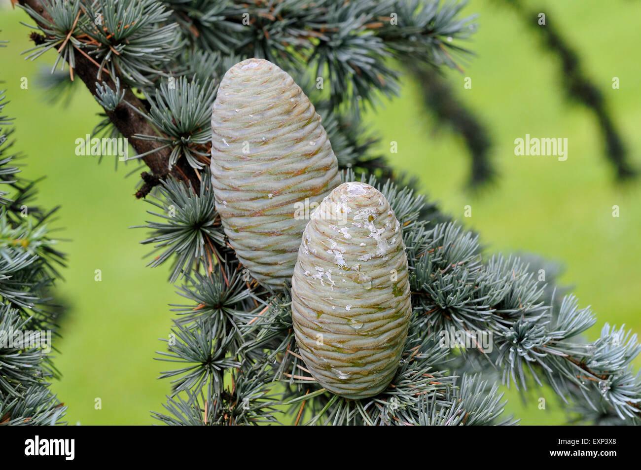 Blue cèdre de l'Atlas (Cedrus atlantica cv. glauca), des aiguilles et des cônes immatures, Rhénanie Photo Stock