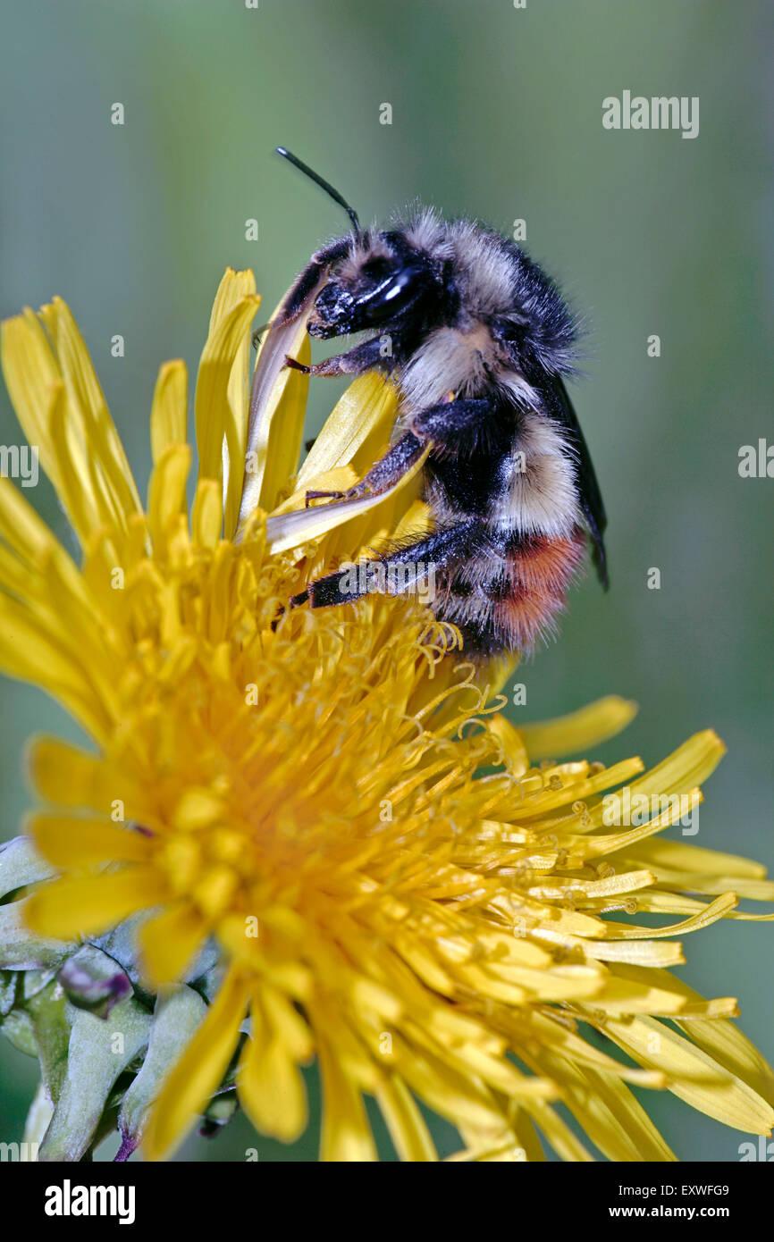 Bumblebee se nourrissant de fleurs de pissenlit Photo Stock