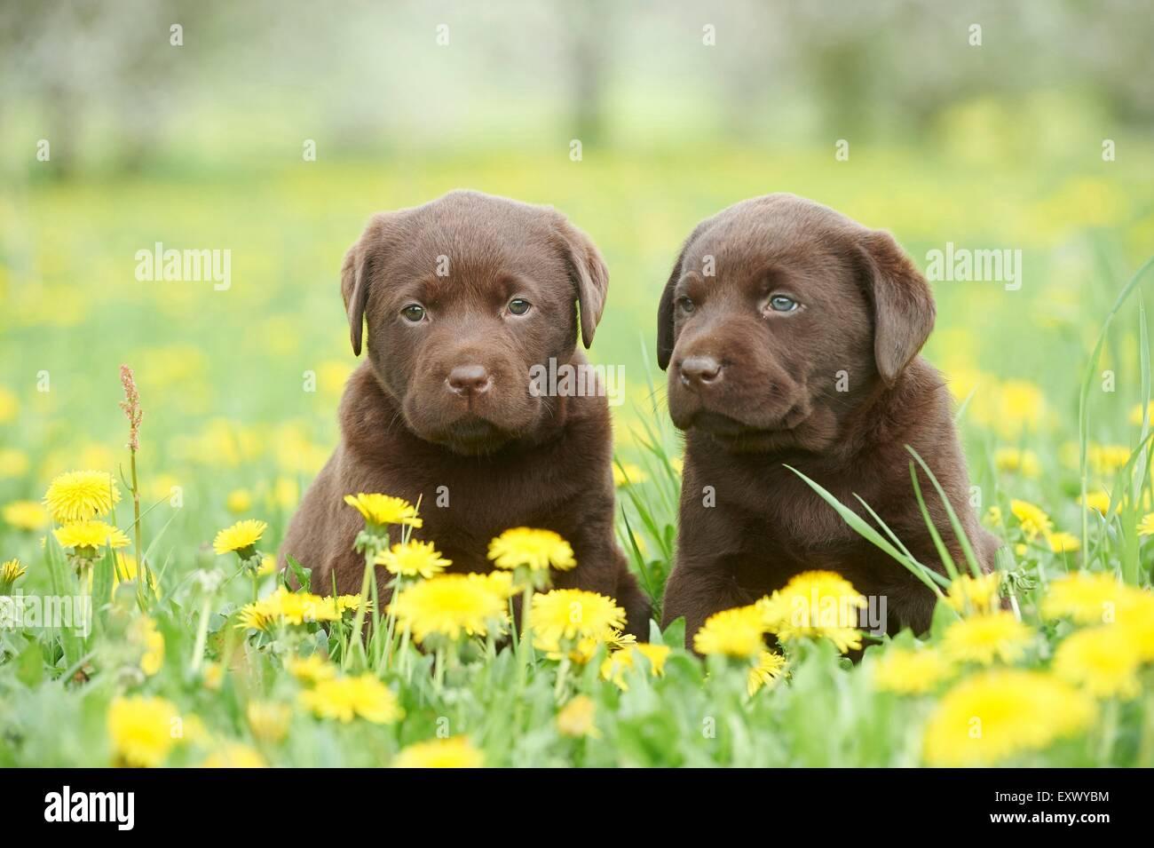 Chiots Labrador, Haut-Palatinat, Bavaria, Germany, Europe Photo Stock