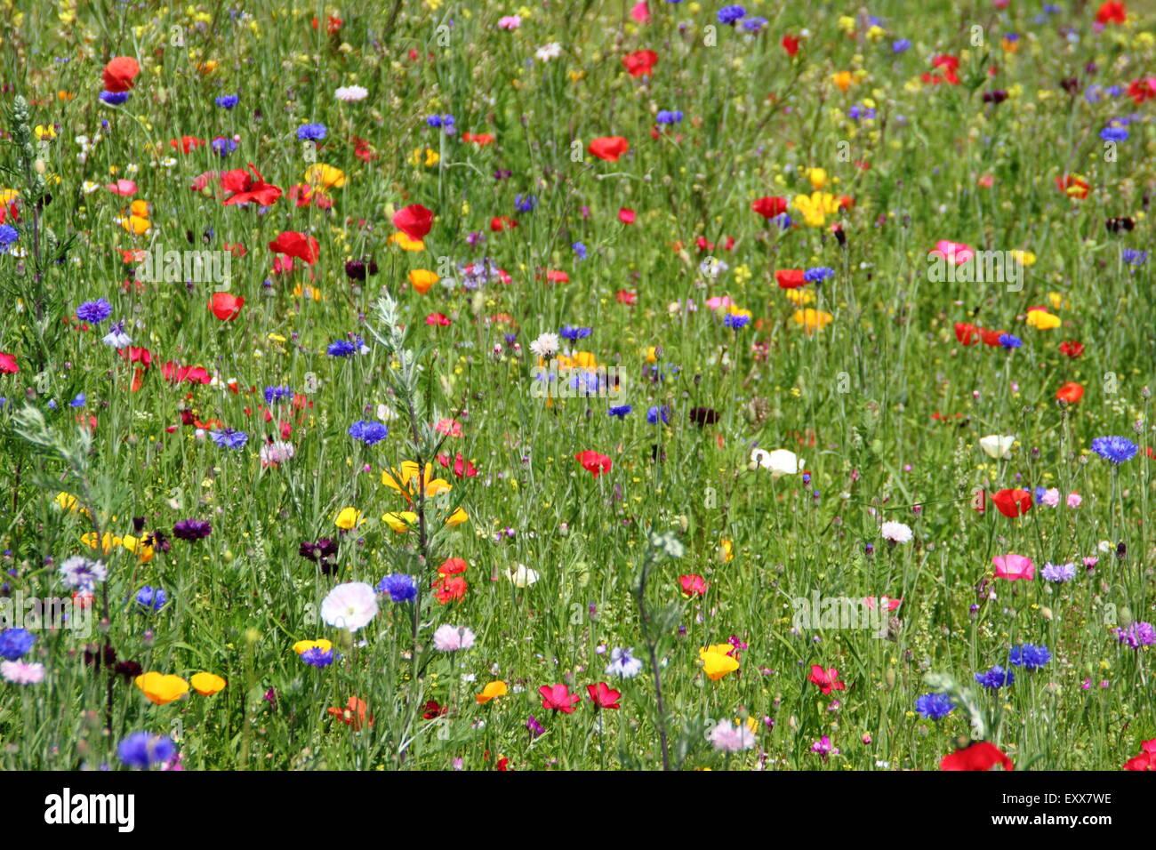 Les fleurs sauvages poussent t Sheffield Manor Lodge, accueil de prés; un mouvement pictural pour fleurs Photo Stock