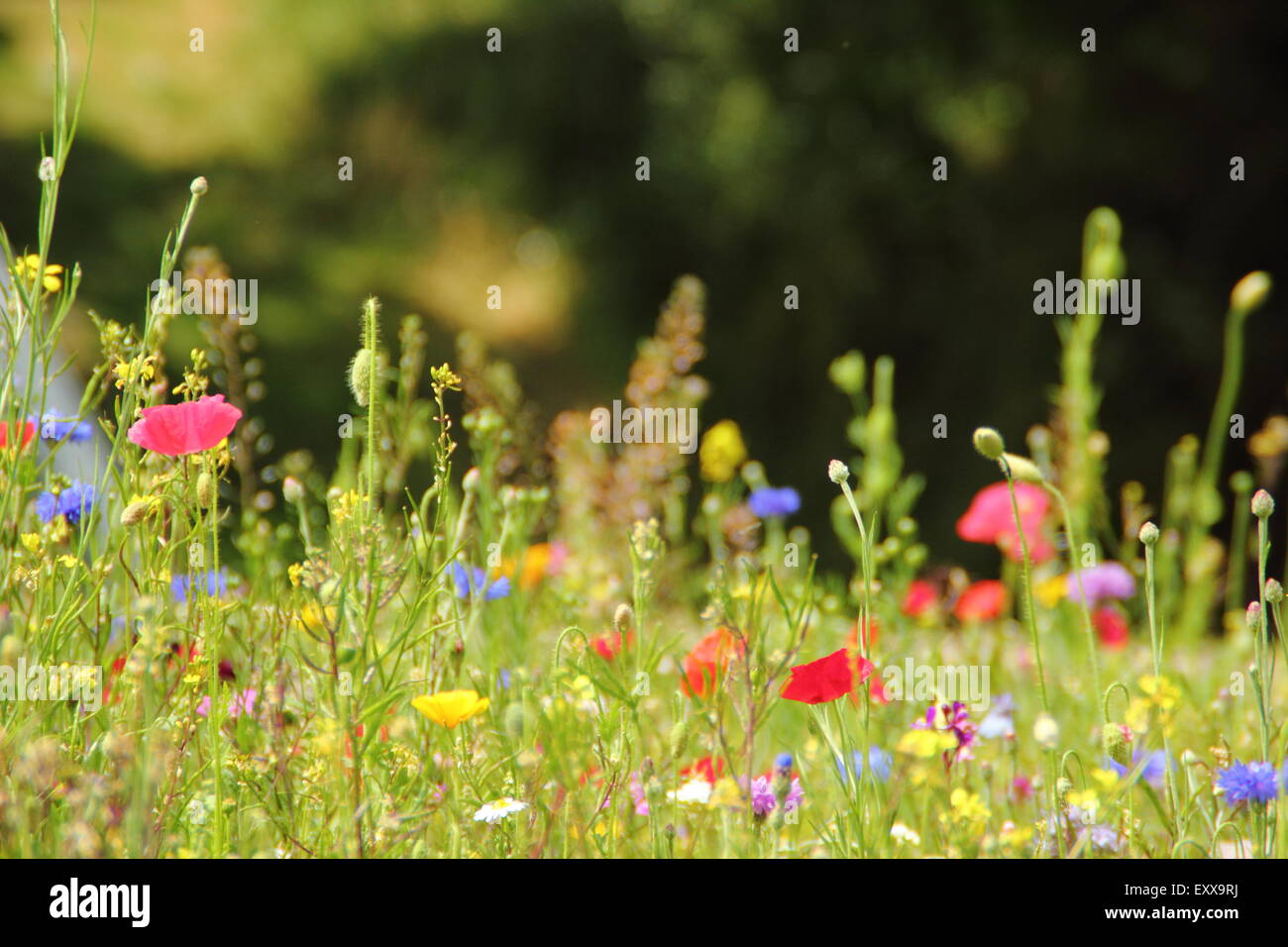 Beau wildflower meadow en pleine floraison au Manor Lodge dans la ville de Sheffield, South Yorkshire, Angleterre Photo Stock