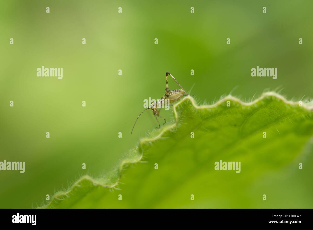 Close-up of cricket sur leaf Banque D'Images