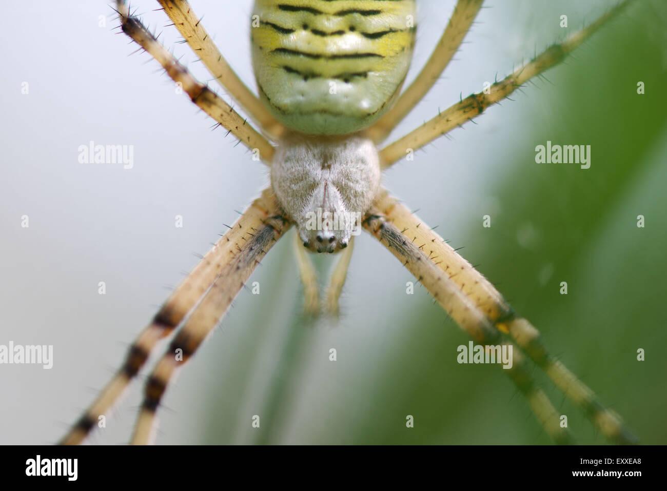 Spider argiope bagués (Argiope trifasciata), close-up Banque D'Images