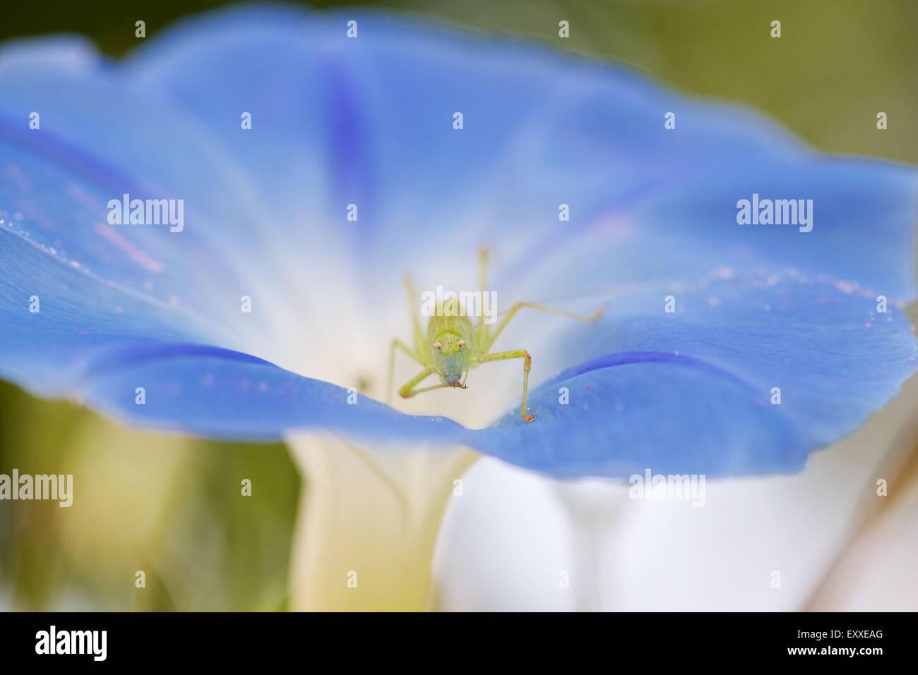 Sauterelle sur morning glory flower Banque D'Images