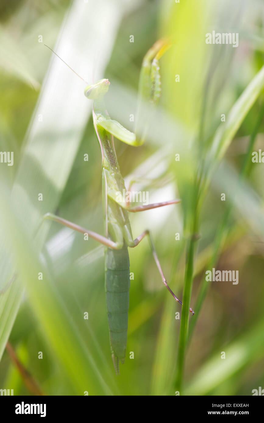 La mante religieuse sur l'herbe Banque D'Images