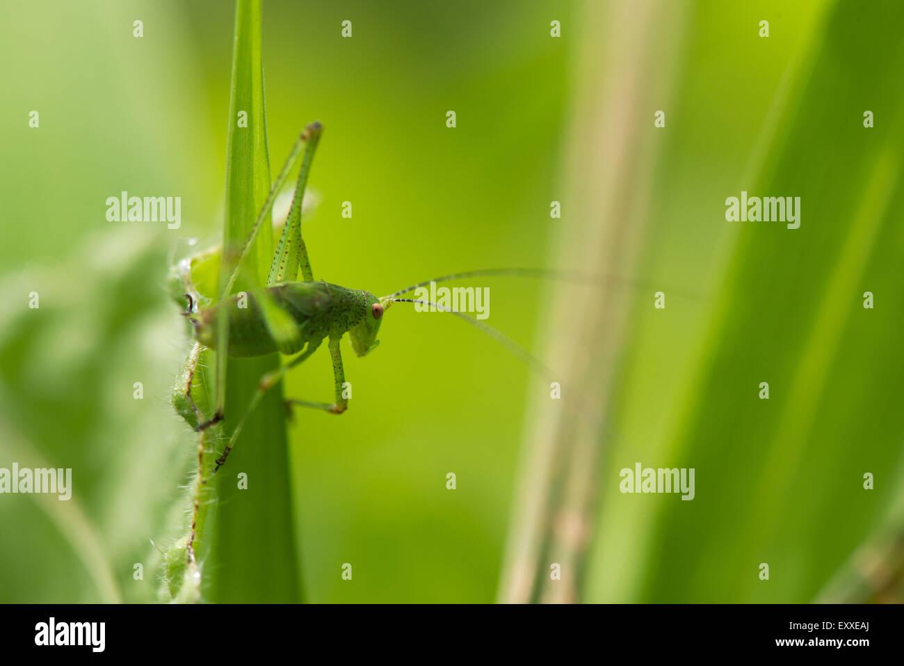 Sauterelle verte sur brin d'herbe Banque D'Images