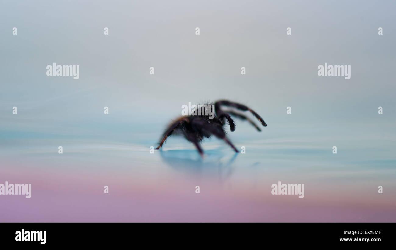 Marcher sur l'araignée d'eau de surface Banque D'Images