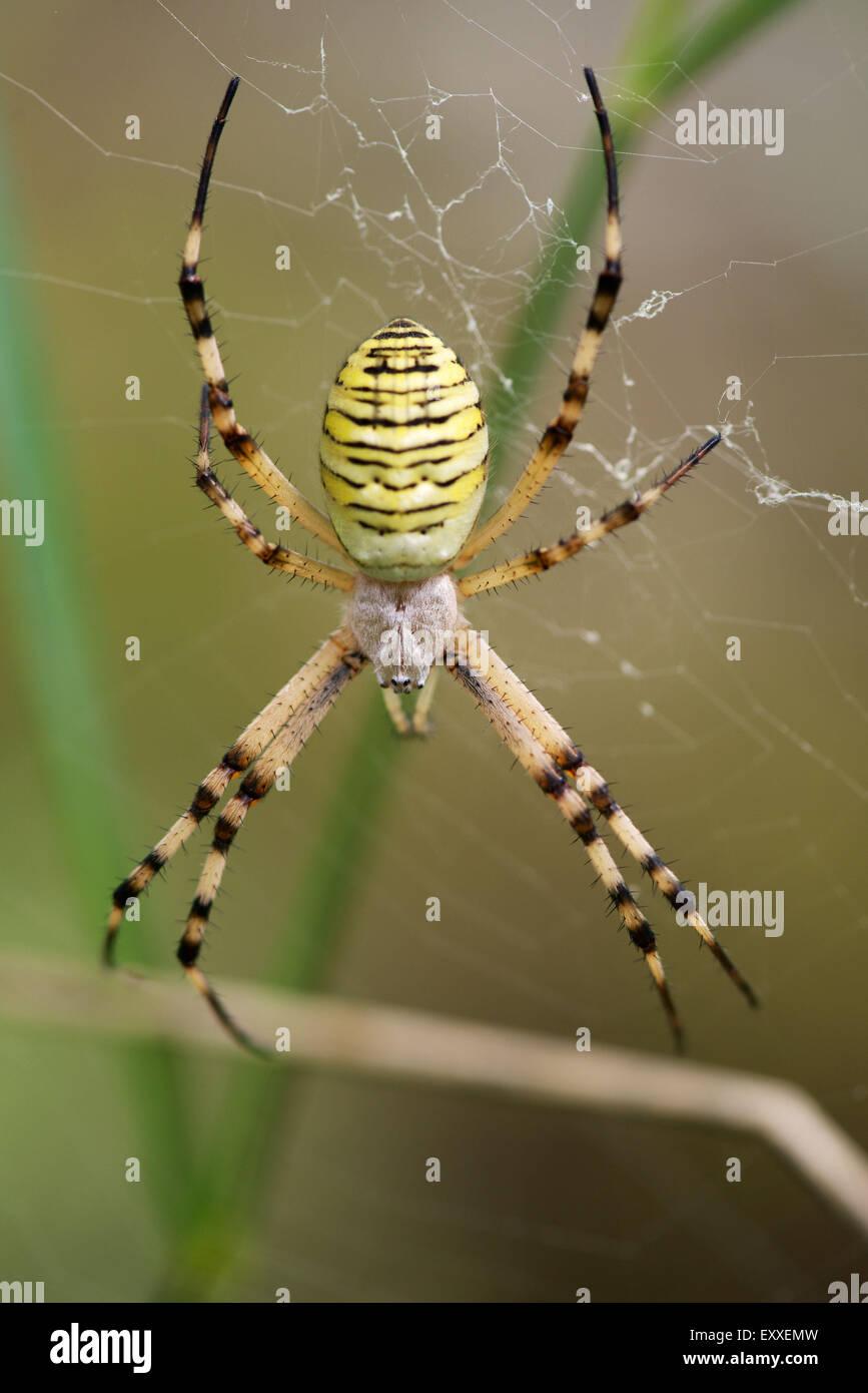 Spider argiope bagués (Argiope trifasciata) Banque D'Images