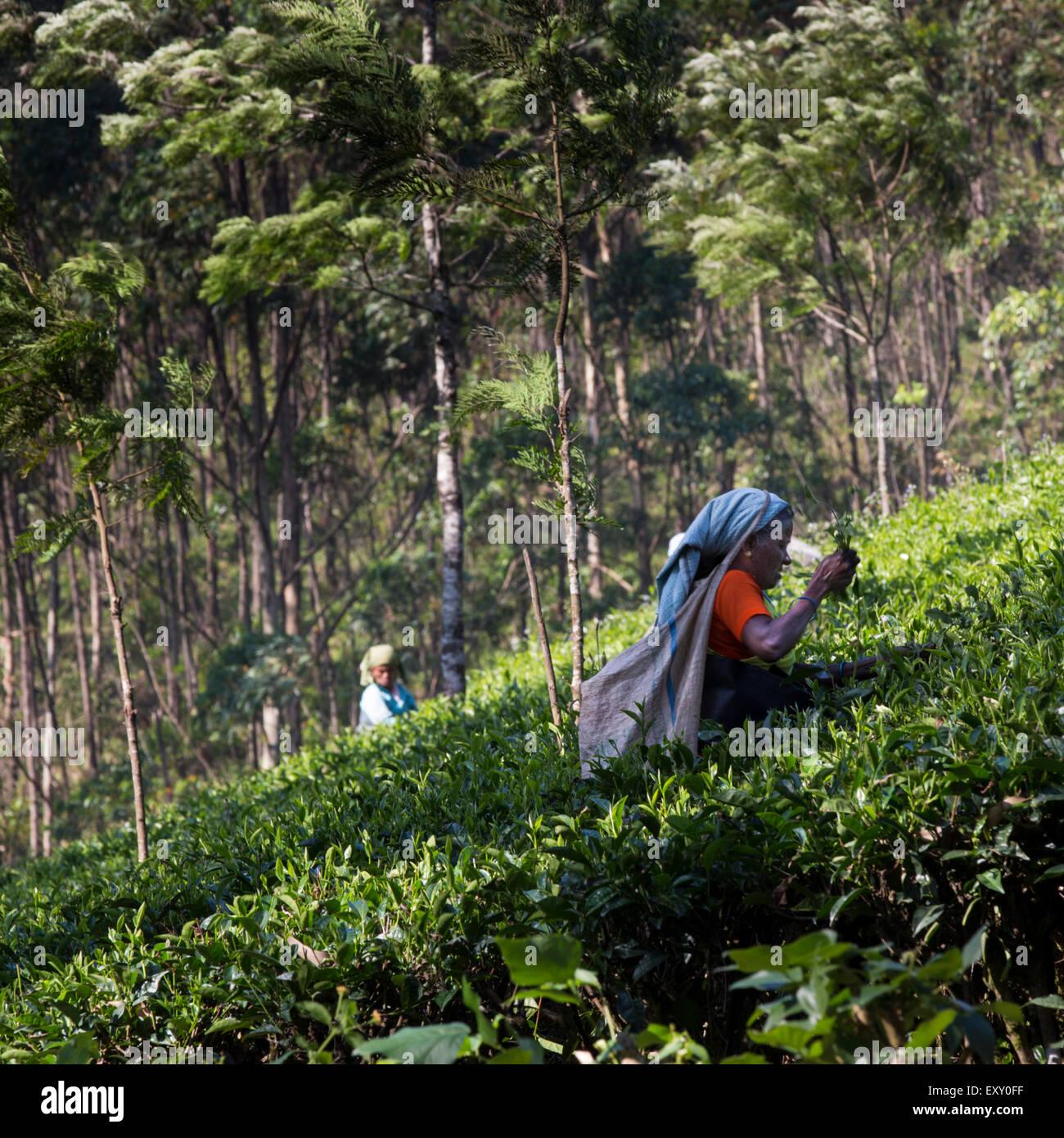 Les cueilleurs de thé tamoule à l'oeuvre dans un Munnar, Kerala, Inde la plantation de thé Photo Stock
