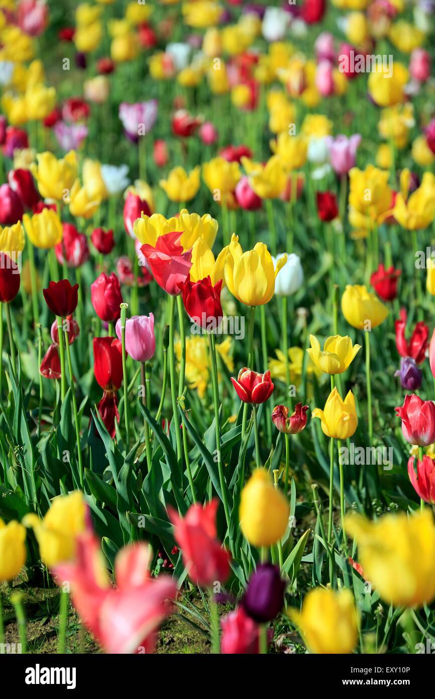 Champ de tulipes colorées, Tulip Fest, chaussures en bois Tulip Farm, Woodburn, près de Portland, Oregon, Photo Stock