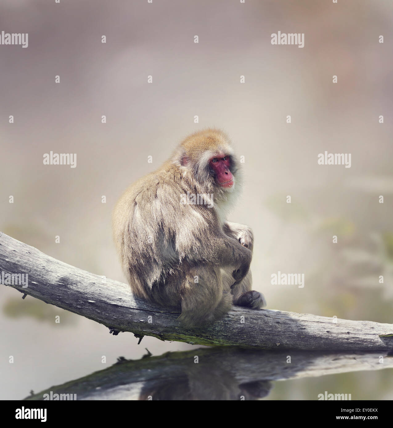 Macaque japonais sur un journal Photo Stock