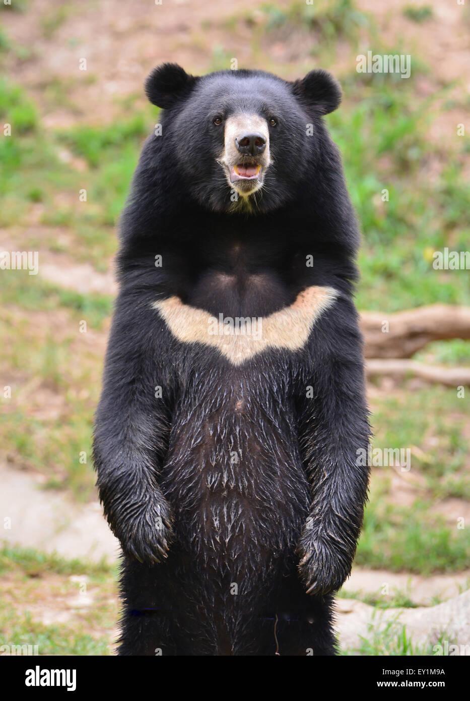 Ours noir d'Asie ou de la lune (Ursus thibetanus) Photo Stock