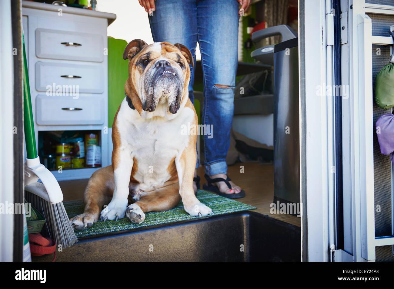 Portrait de bulldog et dans les jambes de womans porte remorque Photo Stock