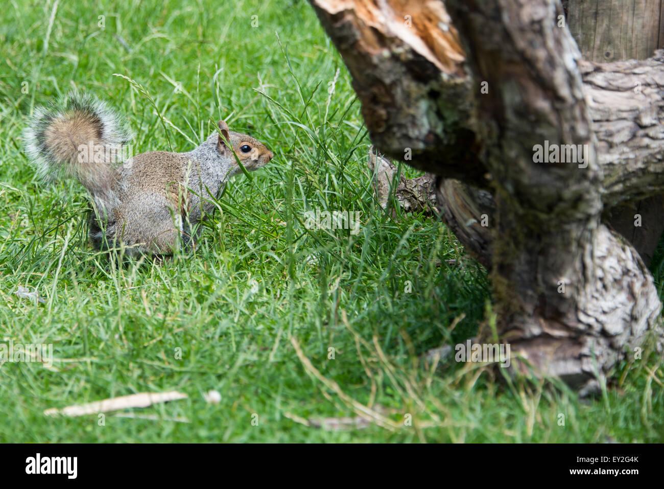 L'Écureuil gris sur la masse à Cannock Chase staffordshire uk Juillet 2015 Photo Stock