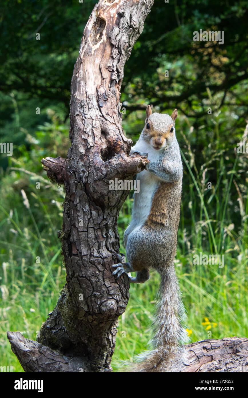 L'Écureuil gris de l'escalade sur une branche en me regardant Cannock Chase staffordshire uk Juillet Photo Stock