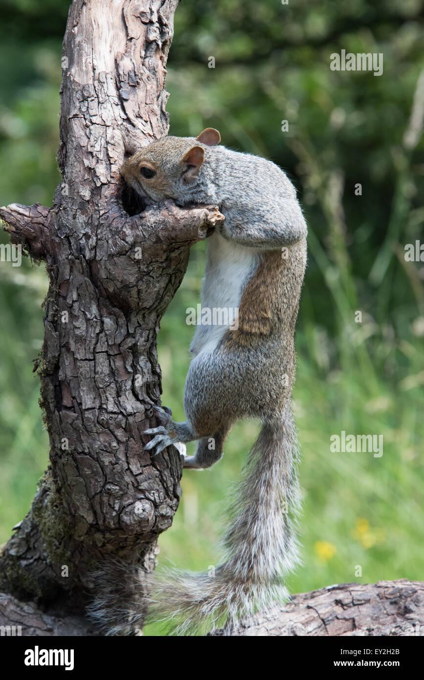 L'Écureuil gris de l'escalade sur le staffordshire cannock direction uk Juillet 2015 Photo Stock